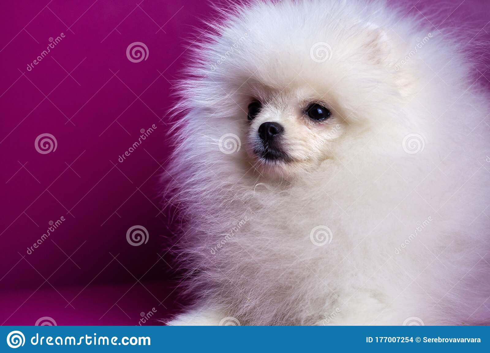 Muzzle Of A Dog A White Pomeranian Puppy Close Up On A Bright Pink Background Looks Away Beautiful White Hair Stock Photo Image Of Cute Adorable 177007254