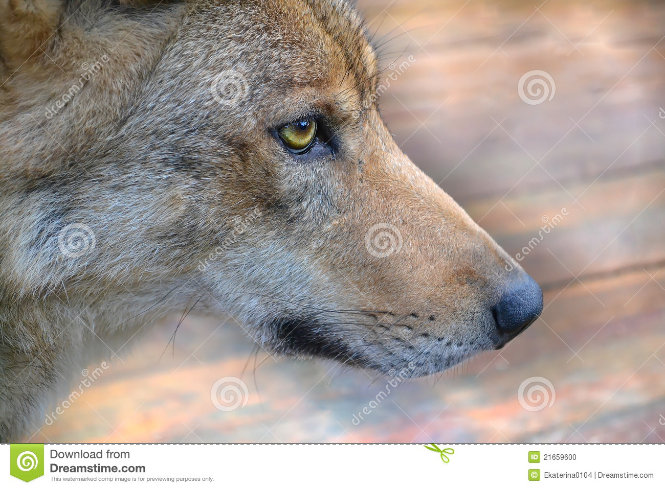 Muzzle The Wolf Stock Photo Image 21659600