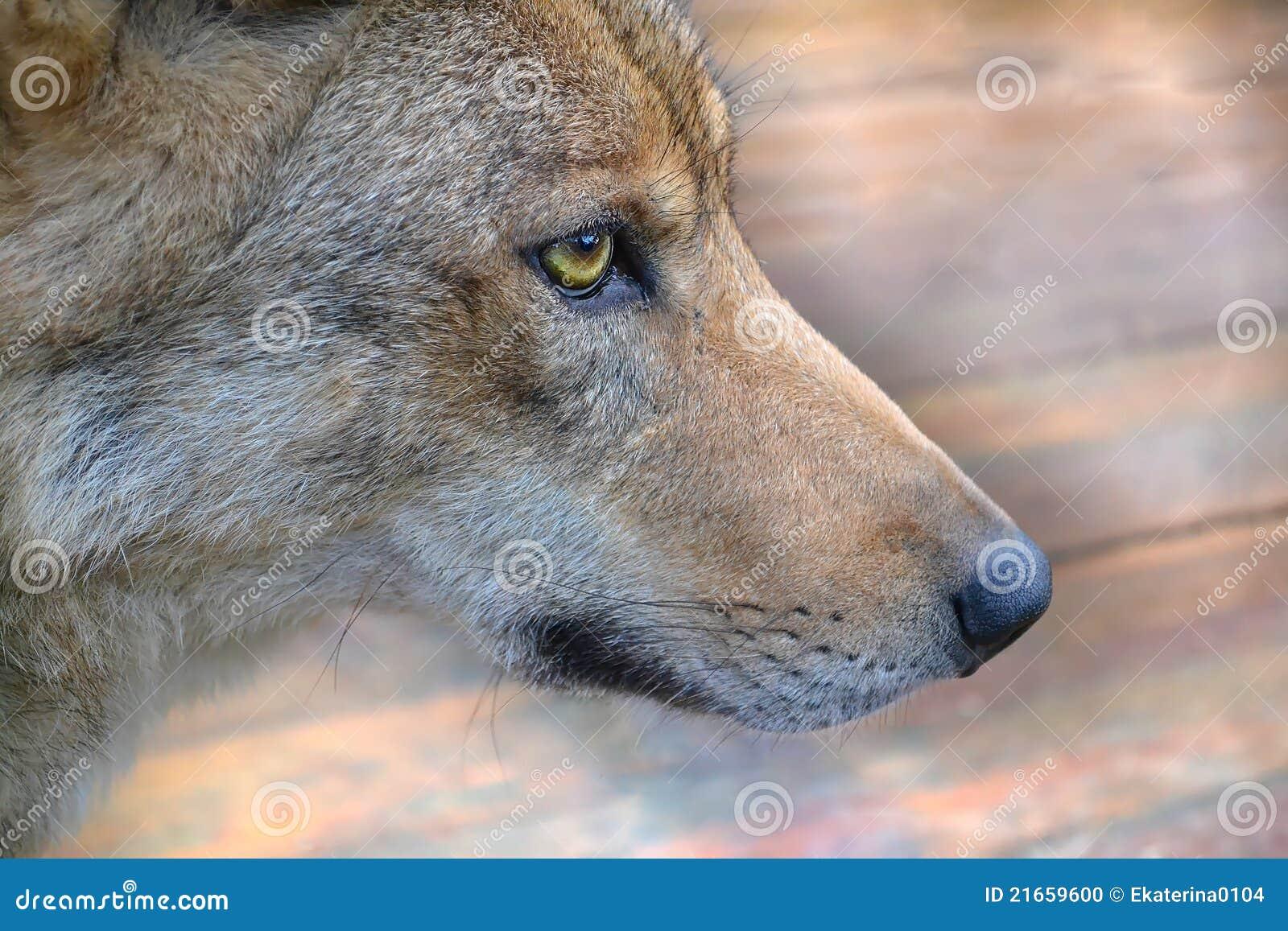 Muzzle The Wolf Stock Photo Image 21659600