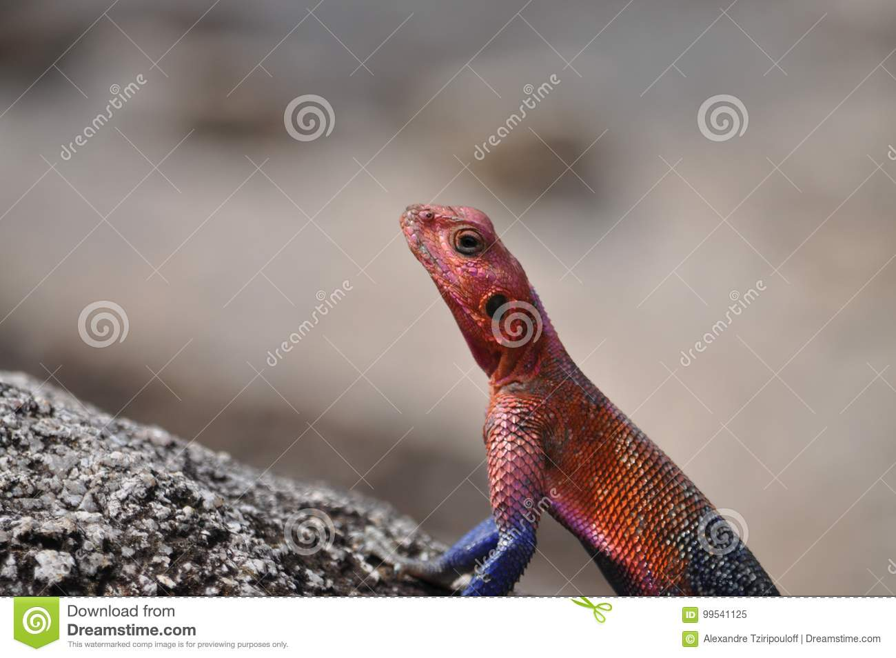 A picture of an Agama.