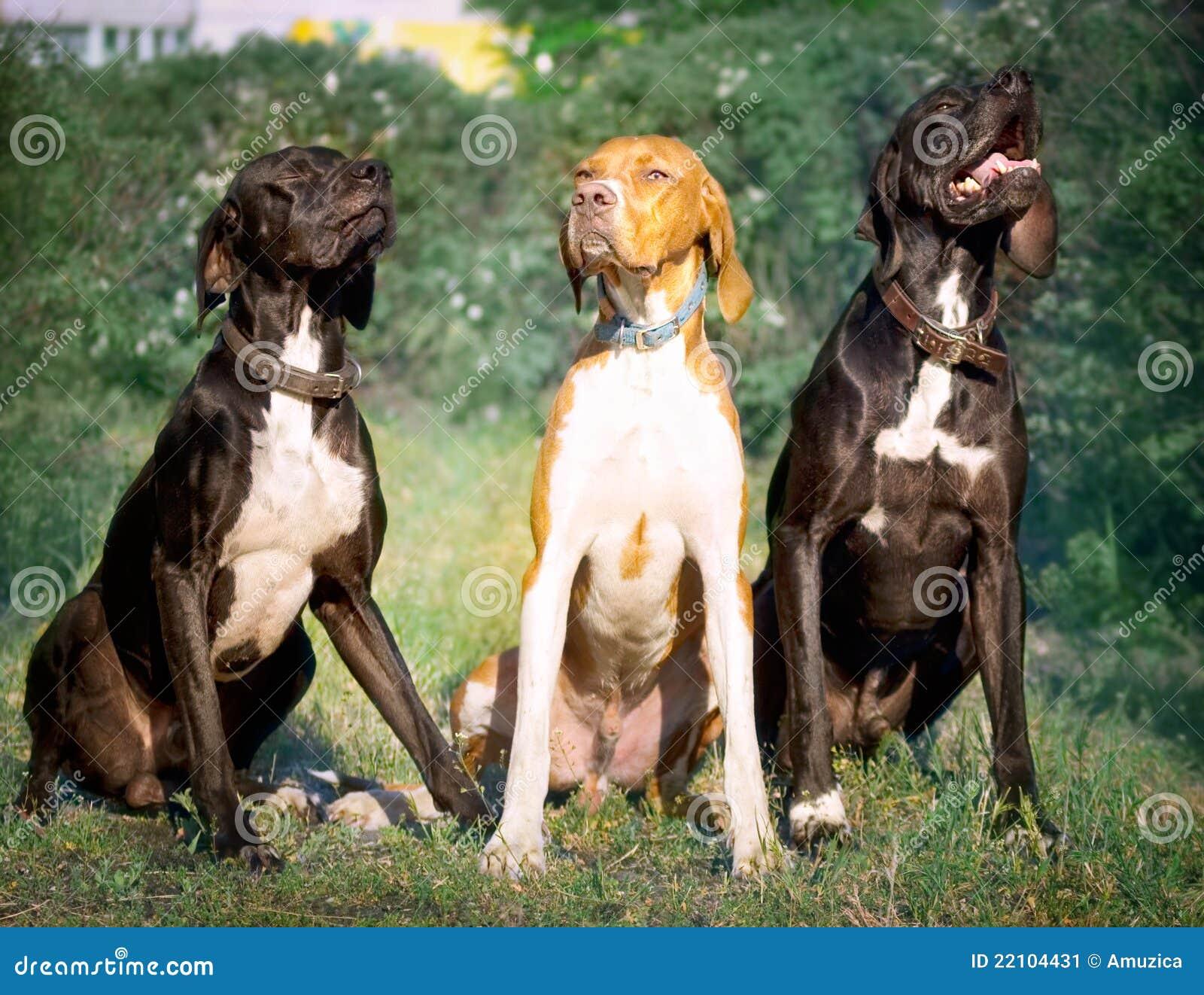Myśliwego psi angielski pointer