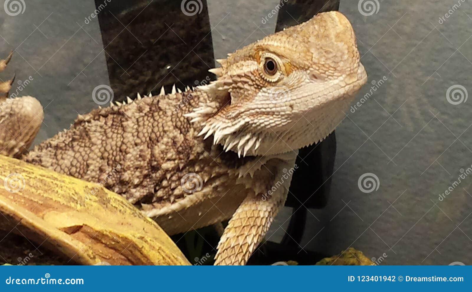 My Beautiful Bearded Dragon Zarrah Stock Photo - Image of
