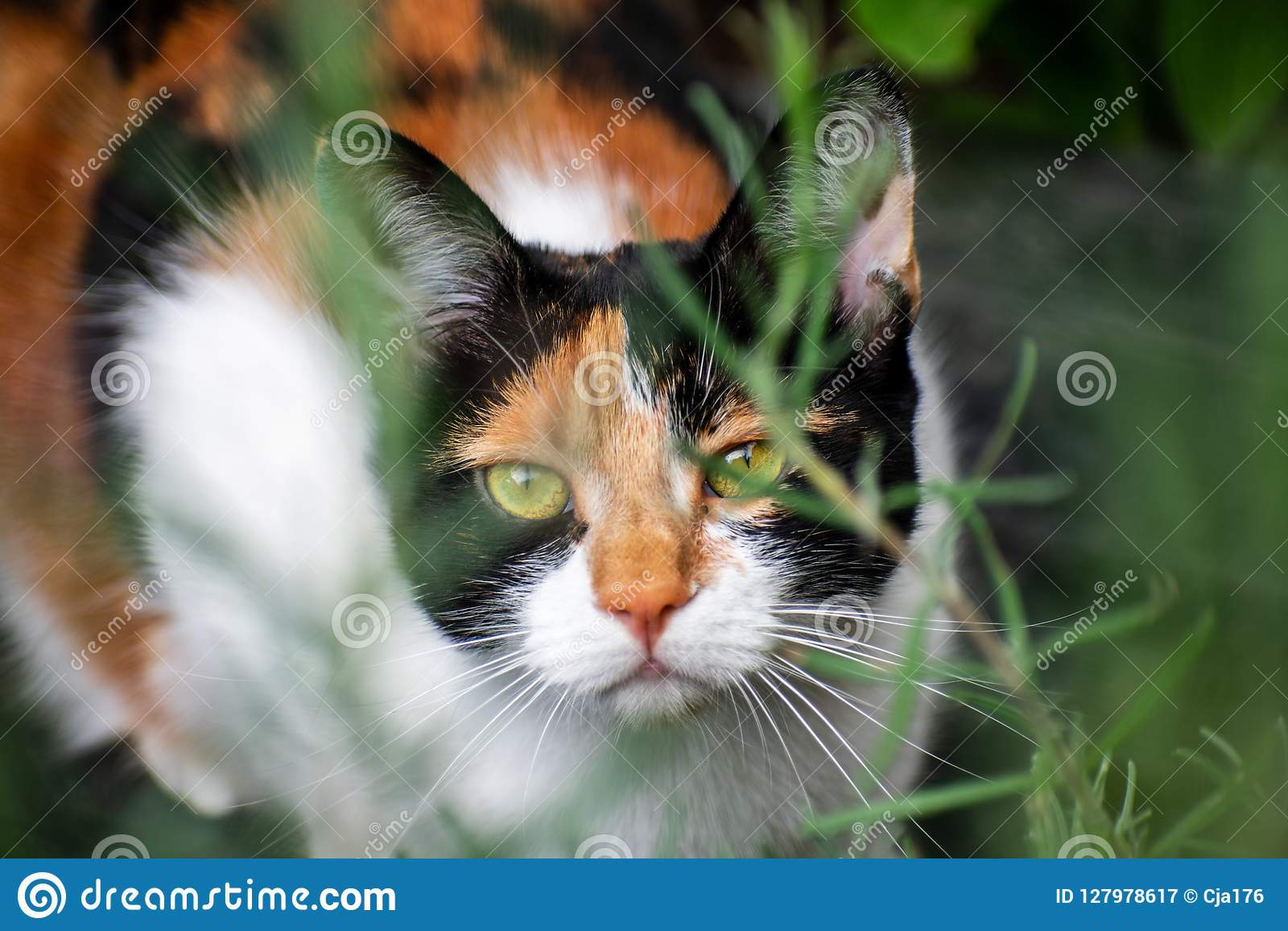 A young tortoiseshell calico cat hiding in undergrowth