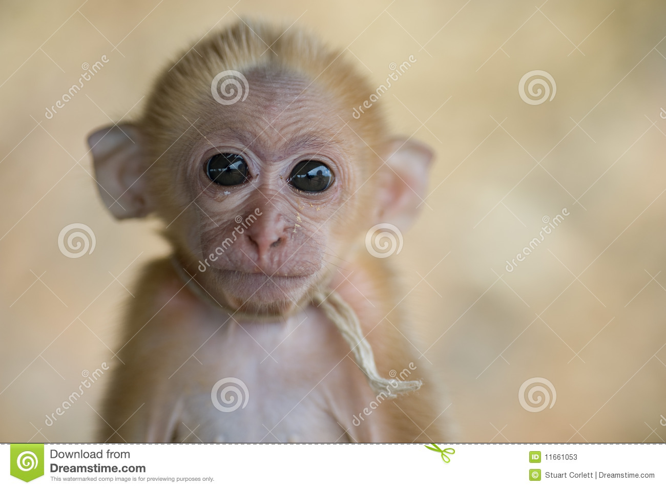 My Monkey Stock Photos - Image: 11661053