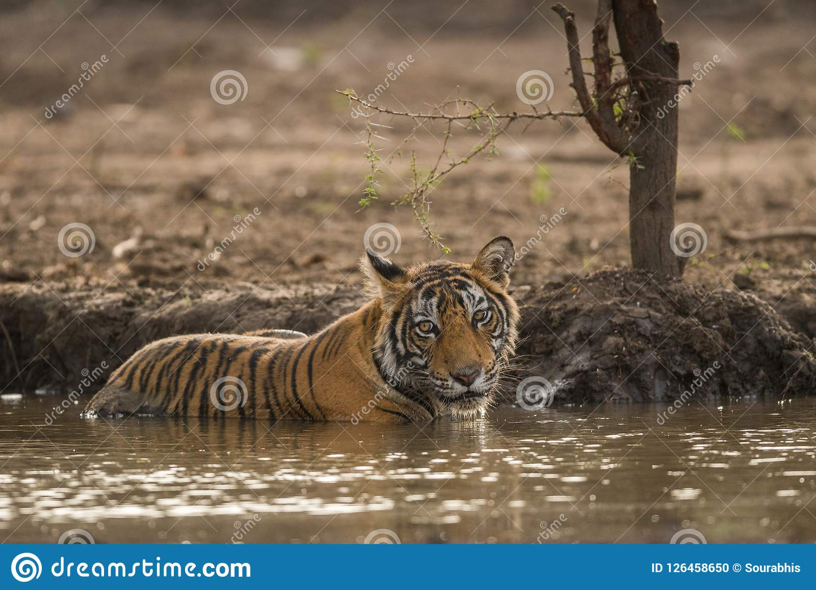 A male tiger cub quenching her thirst in hot summer at Ranthambore National Park
