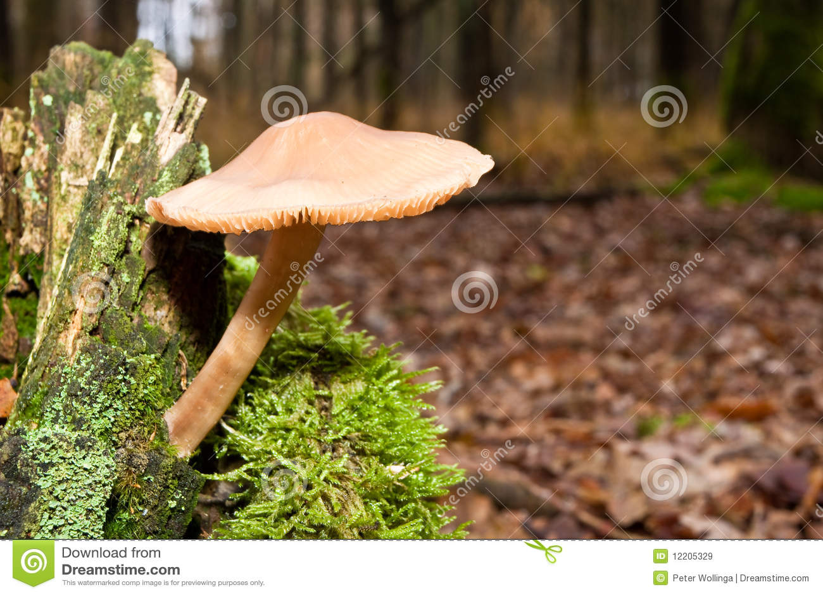 Mycètes, champignons de couche dans une forêt