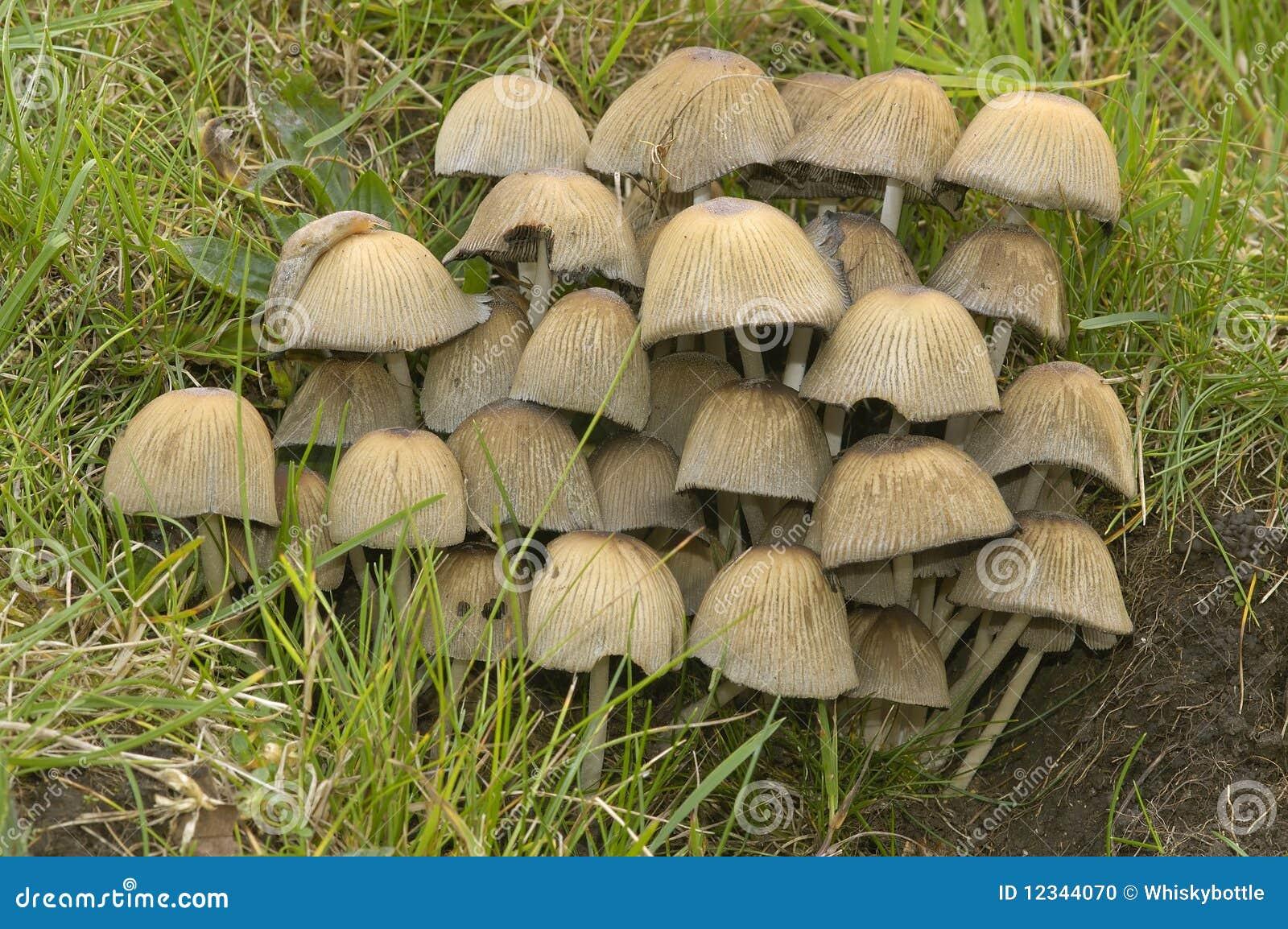Mycètes de scintillement de capuchon d encre