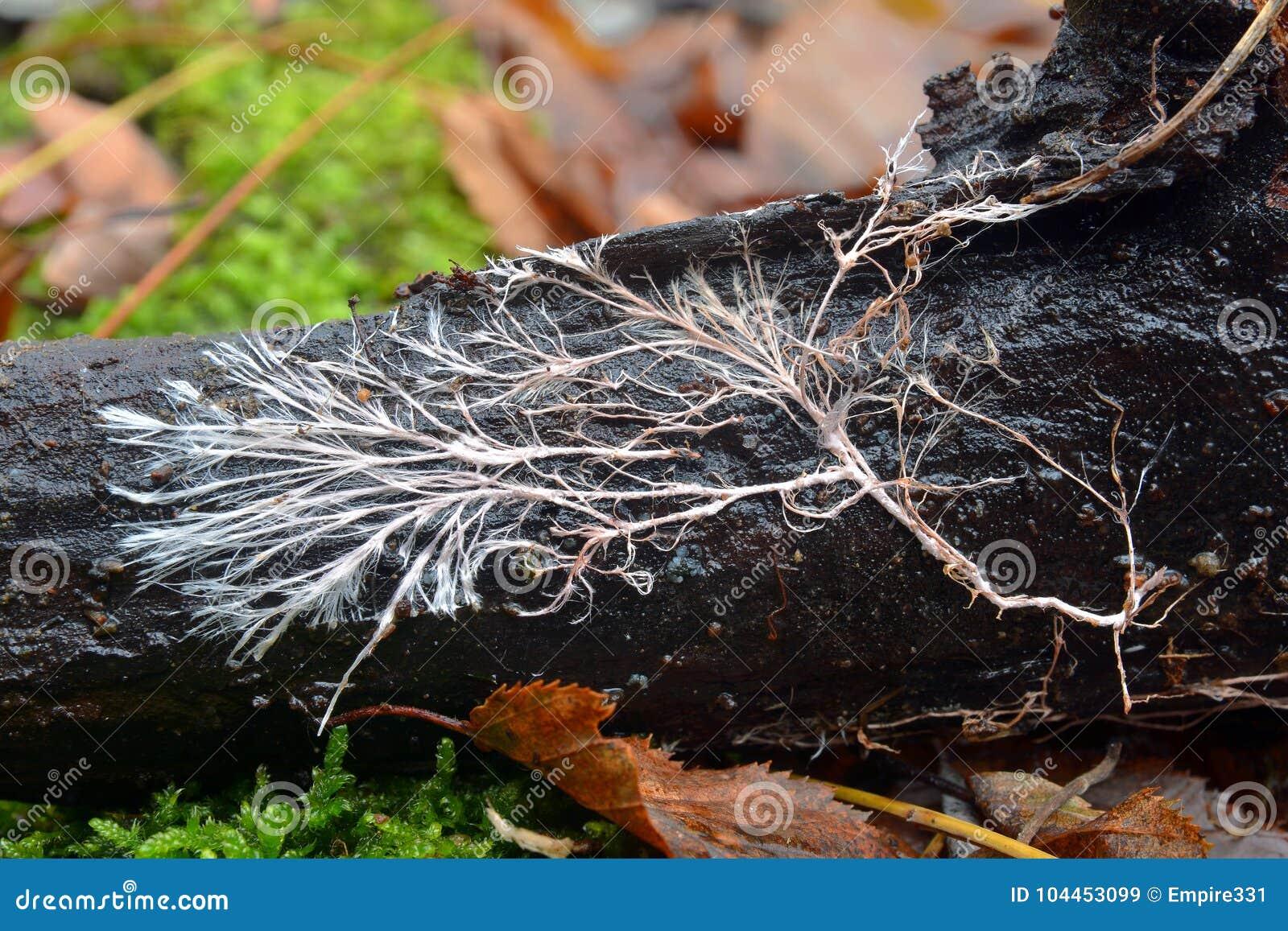 Mycelial kabel, rizomorph