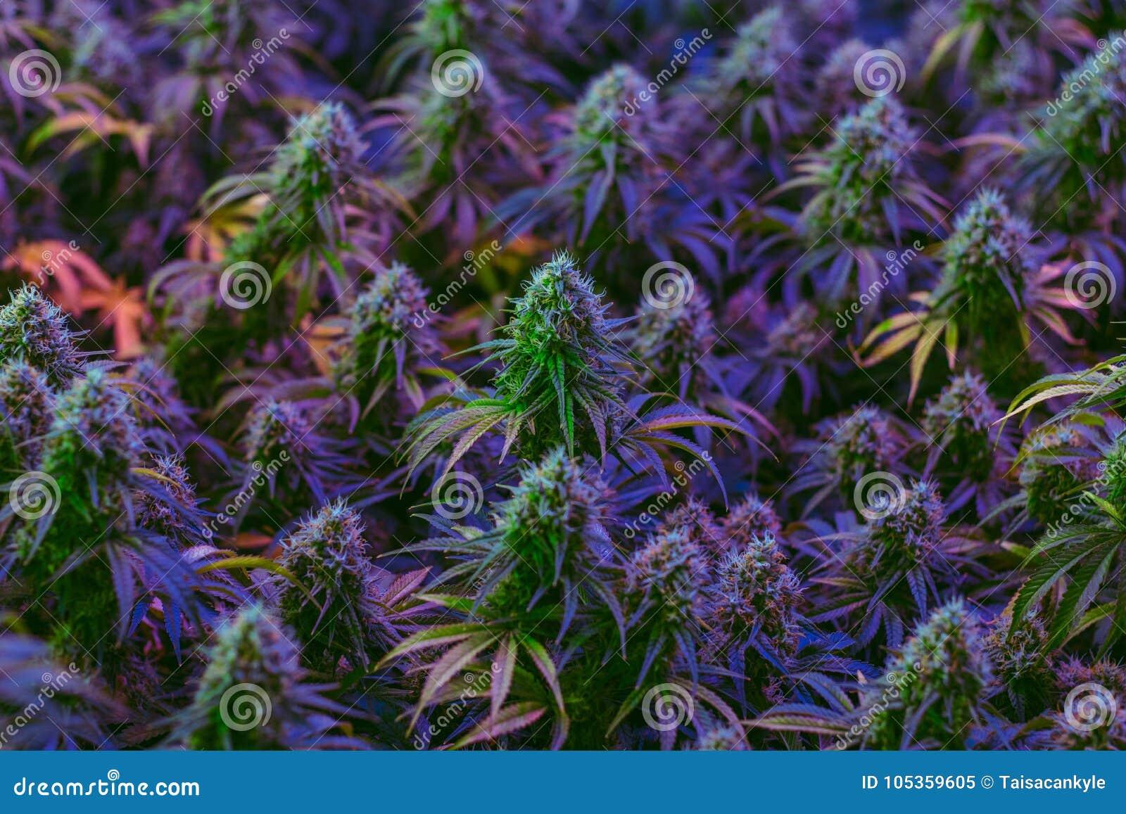 Mycket färgrika marijuanaväxter som odlas för alternativt sjukvårdbruk