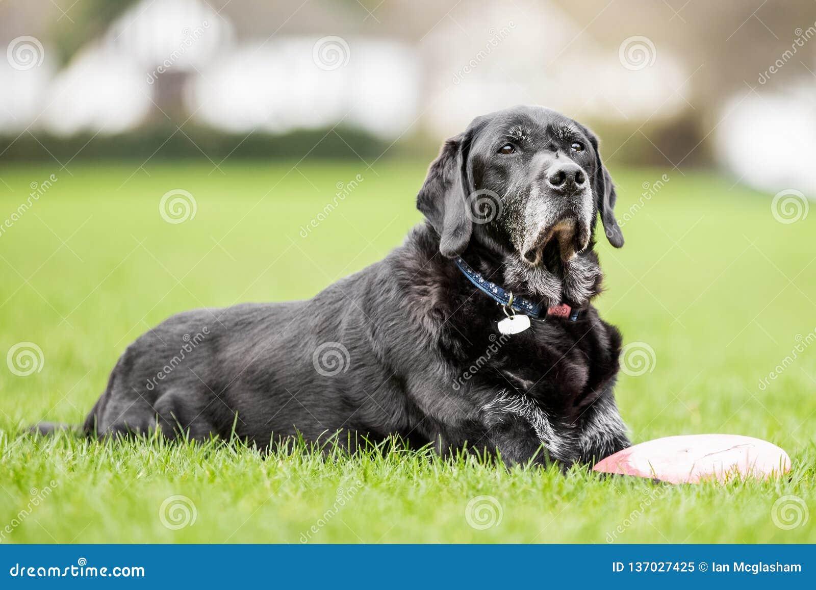 Mycket gammal svart labrador som ligger på gräset nära en flyga diskett