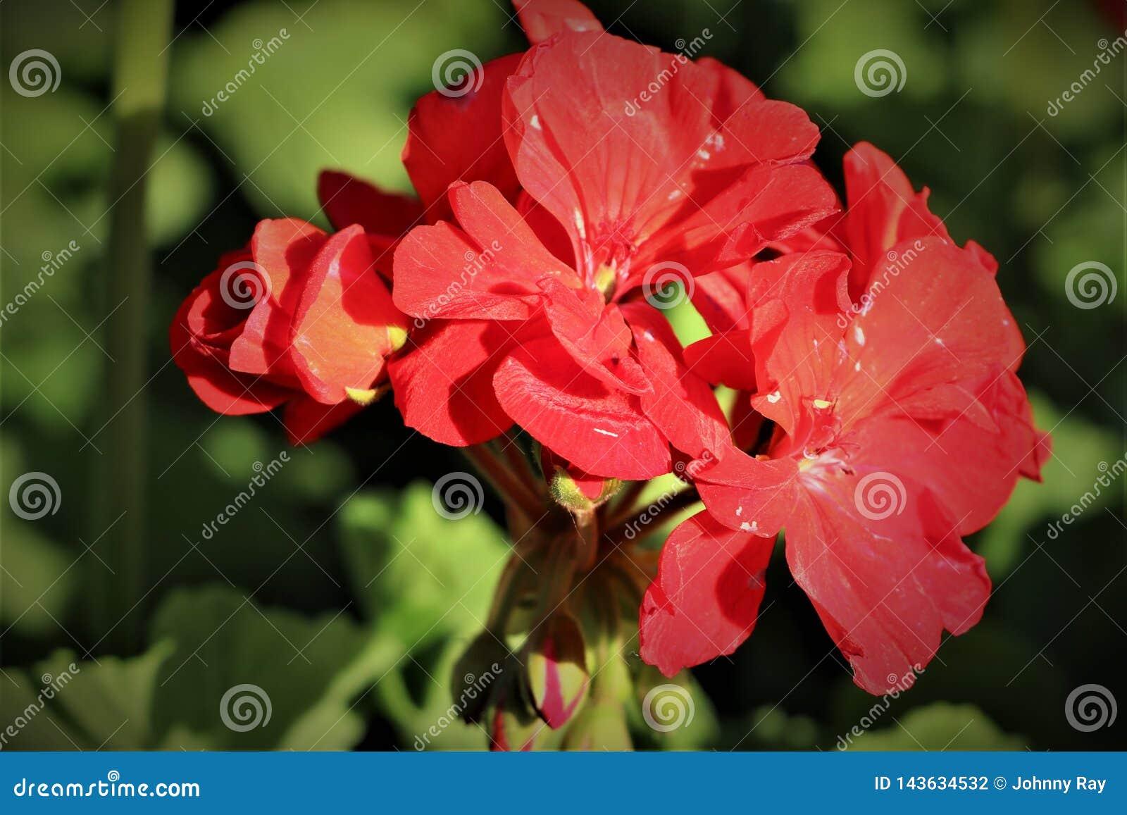 Mycket härlig röd blomma som blommar med grön lövverk