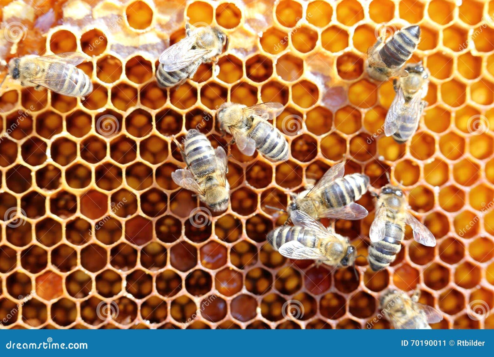 Mycket honungbin
