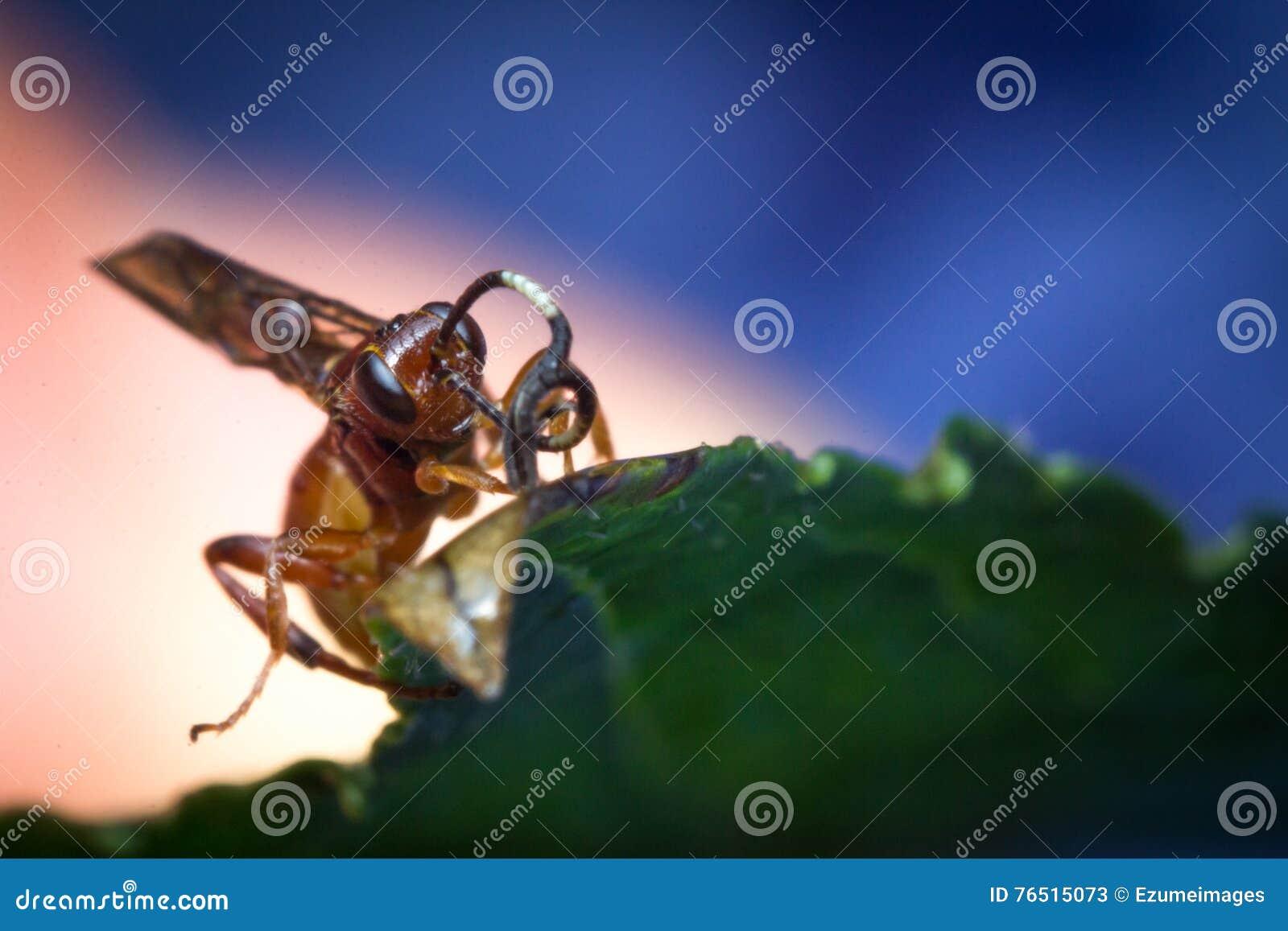 Mycket liten begynnande Ichneumon Wasp