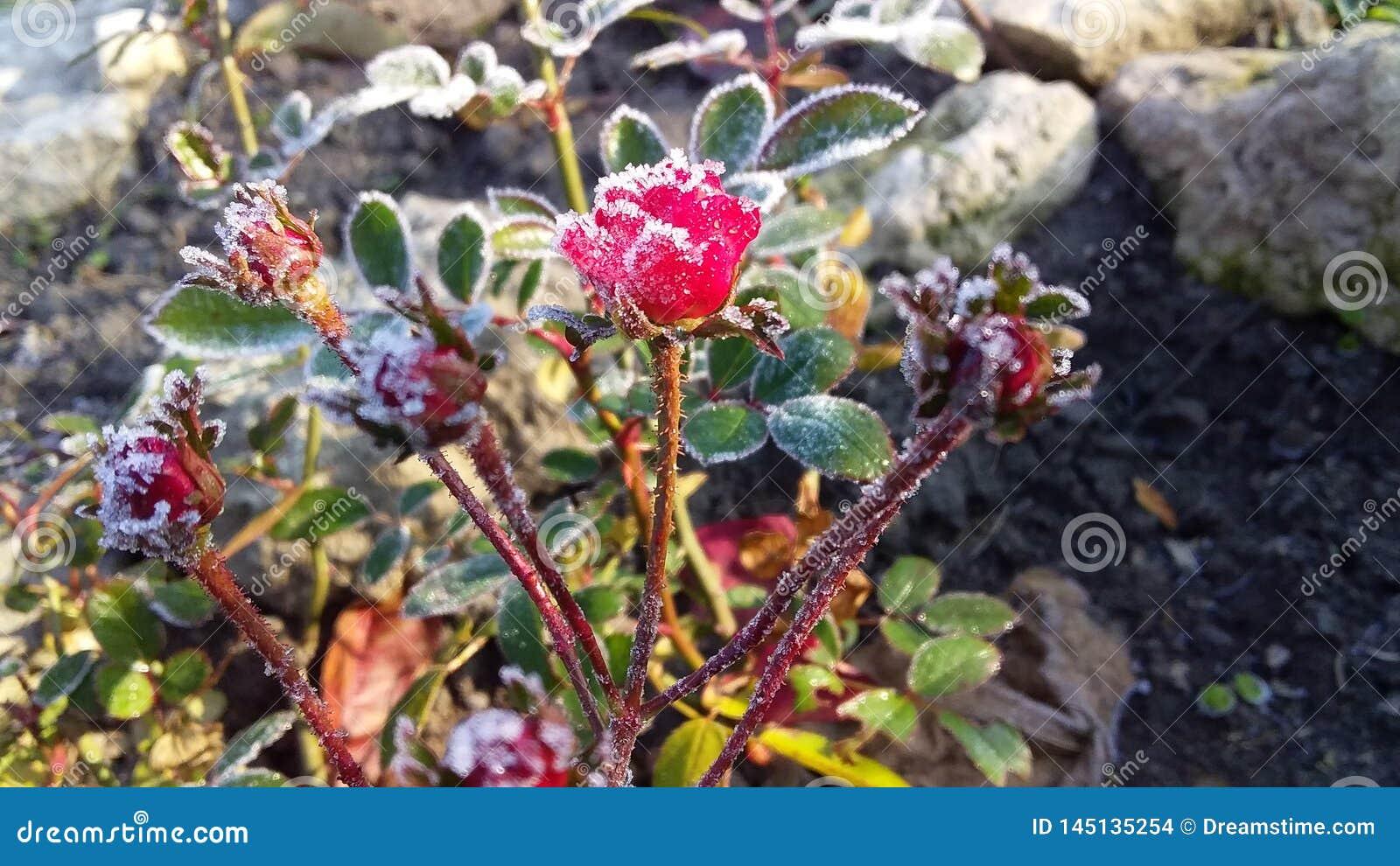 Mycket liten miniatyrröd ros i kall och frostig höstträdgård