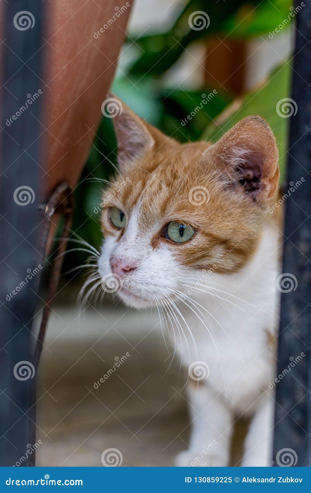 Mycket uppmärksam ljust rödbrun katt