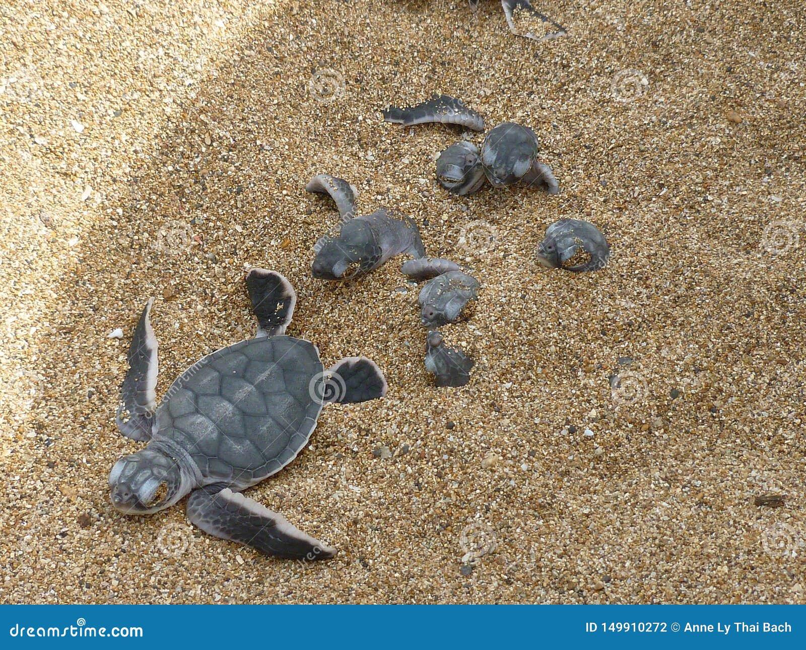 Mydas chelonia зеленой черепахи младенца Hatchling на пляже