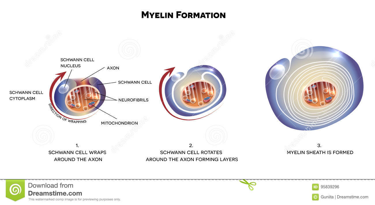 Myelin sheath of the neuron stock vector illustration of biology download comp ccuart Gallery