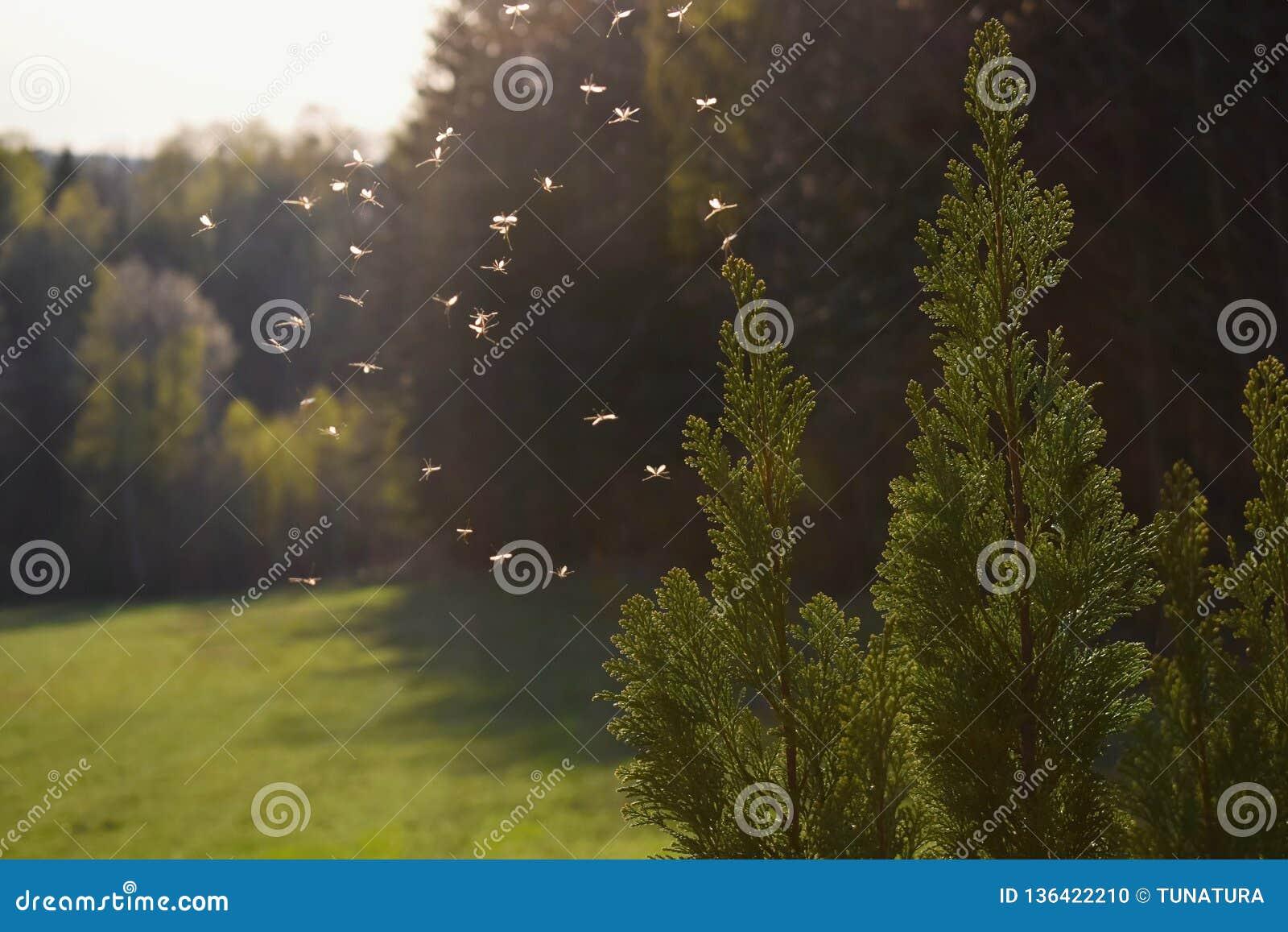 Myggor som flyger i solnedgångljus
