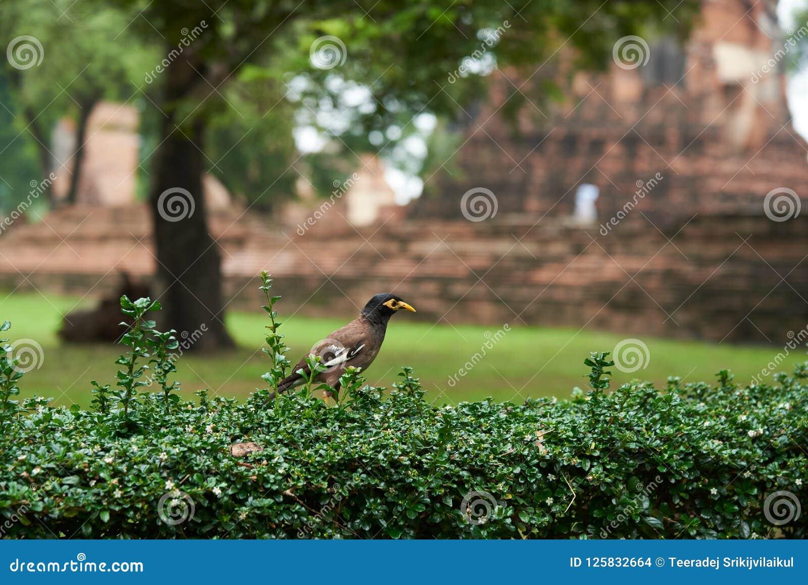 A myna bird standing on the green bush