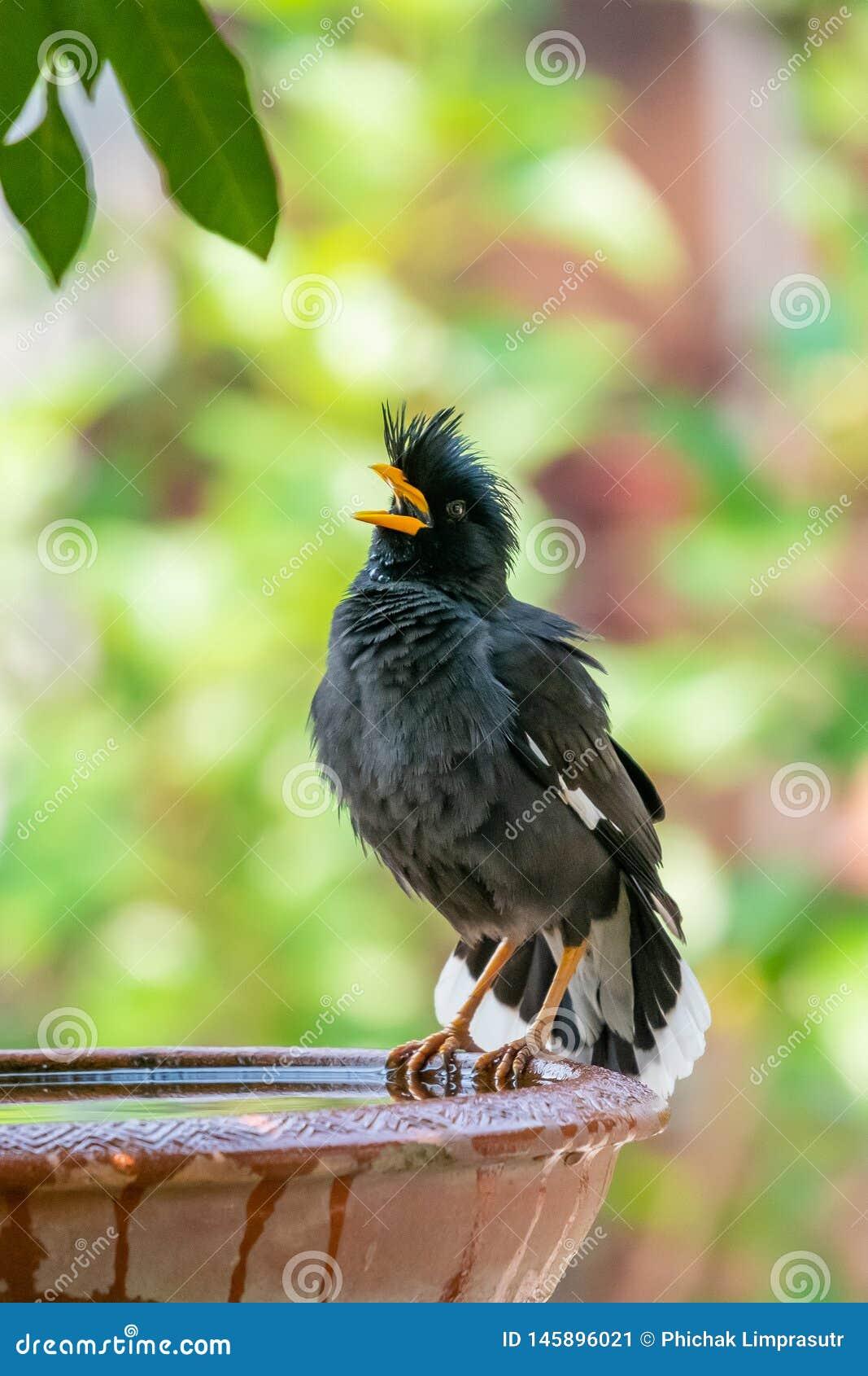 Myna Blanc-exhalé étant perché sur la cuvette d argile de l eau et soufflant vers le haut du plumage
