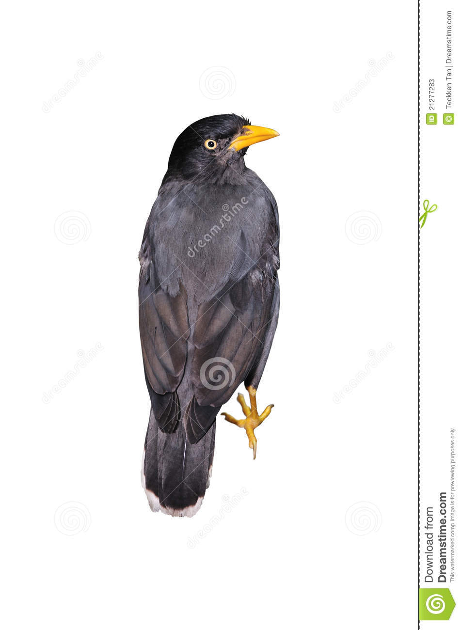 Mynah Bird Stock Photos - Image: 21277283 - photo#33