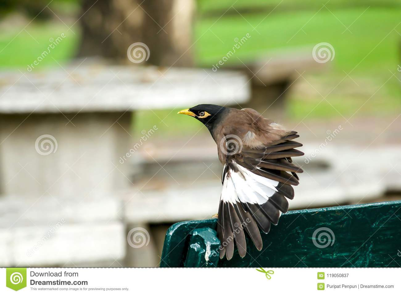 Mynas is on a green chair in the park.