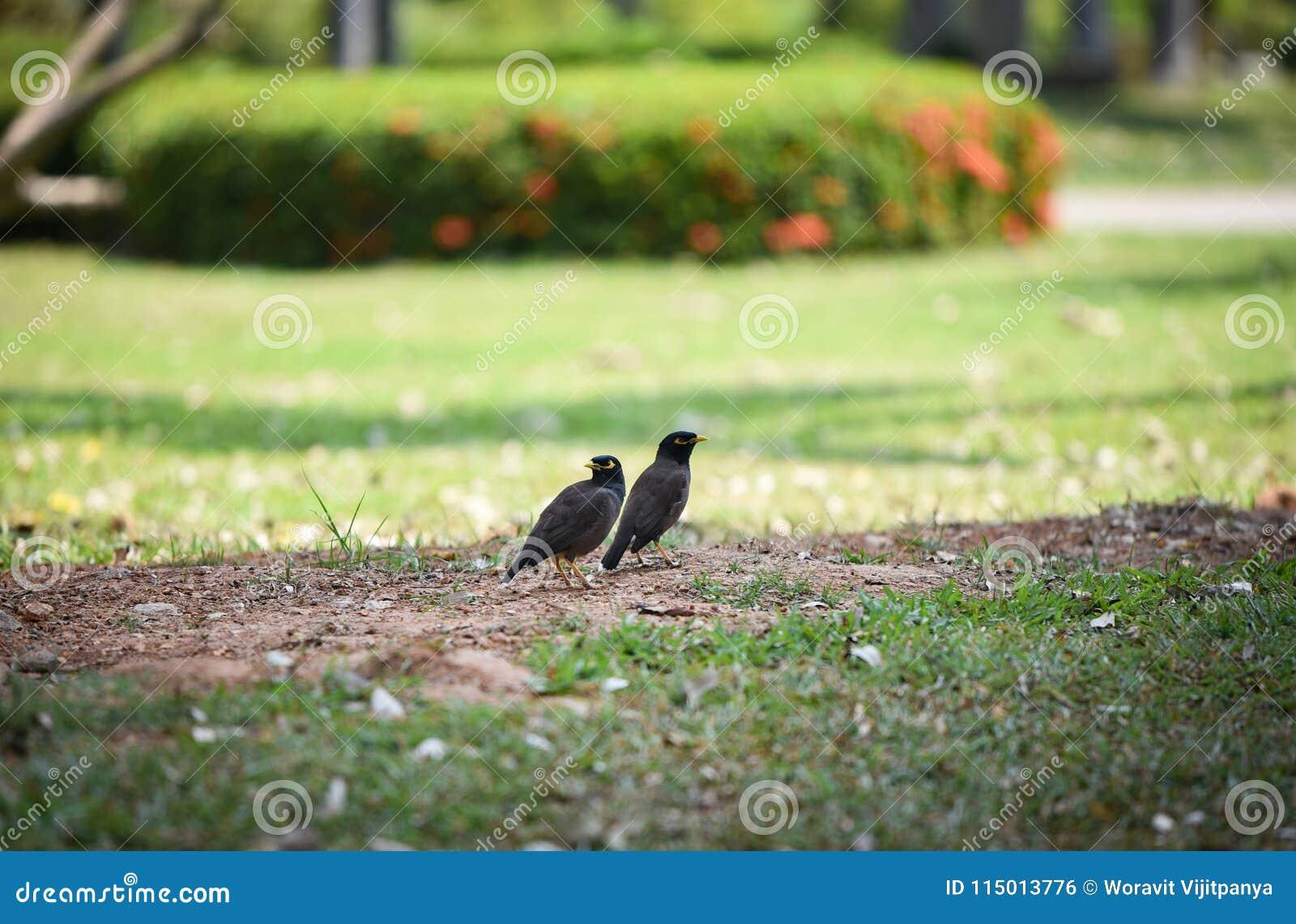 Mynasvogels