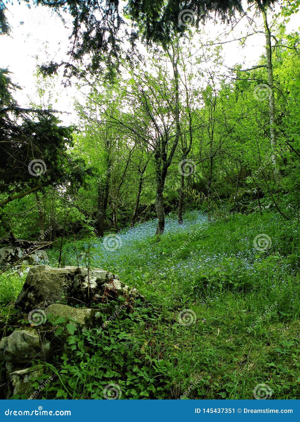 Myosotis en prado verde con las rocas