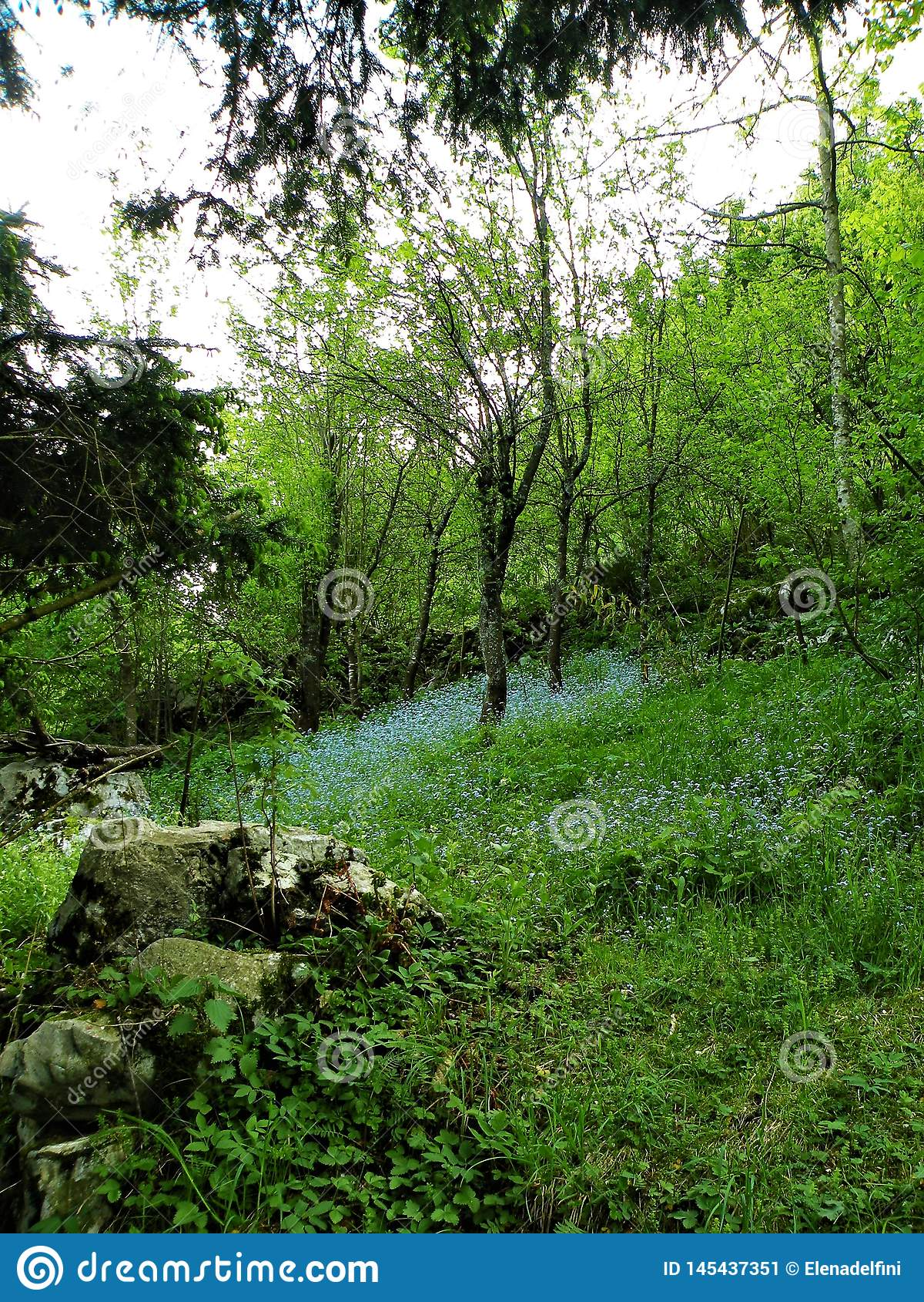 Myosotis no prado verde com rochas