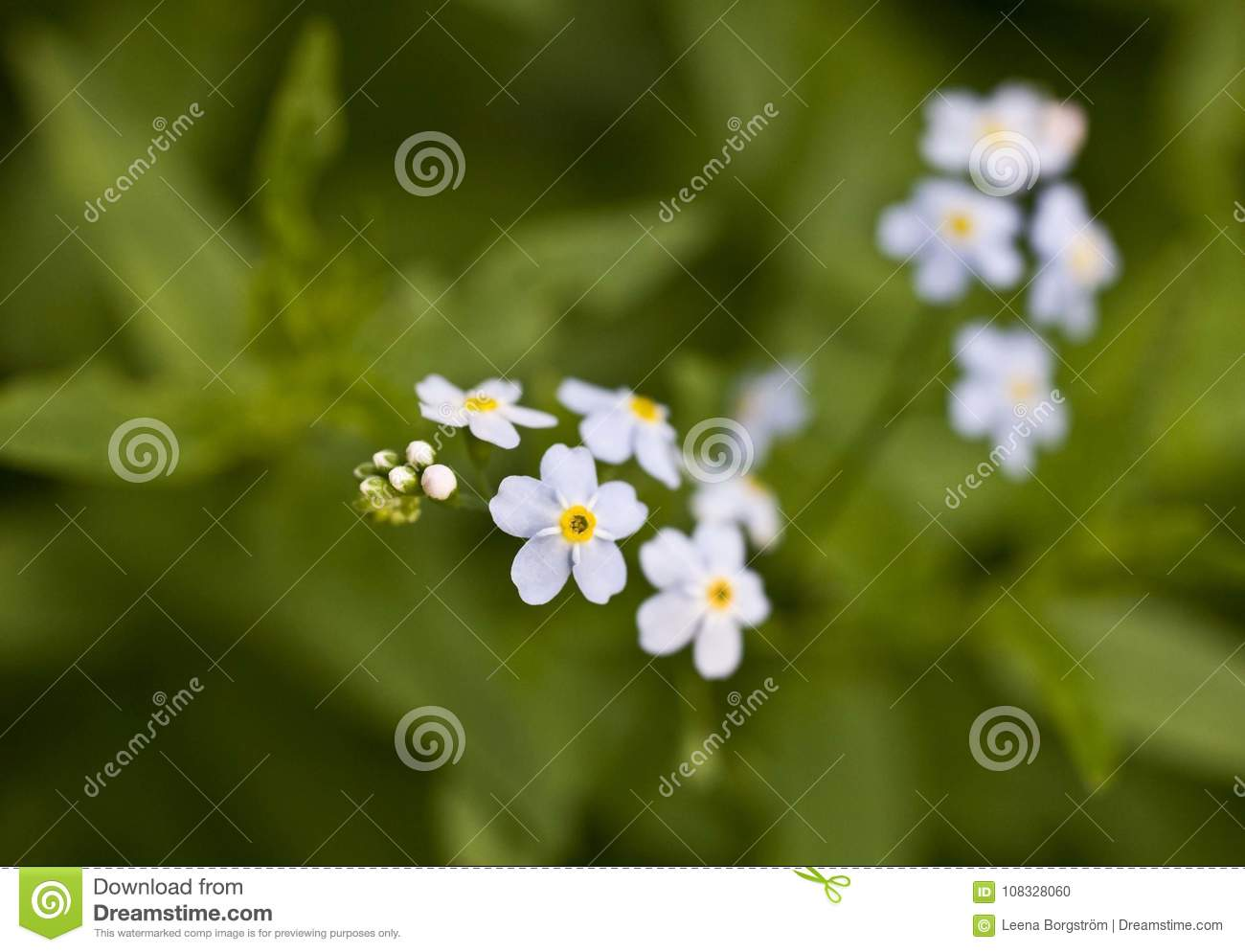 Small Blue Flowers On Green Background Forget Me Not Stock Photo