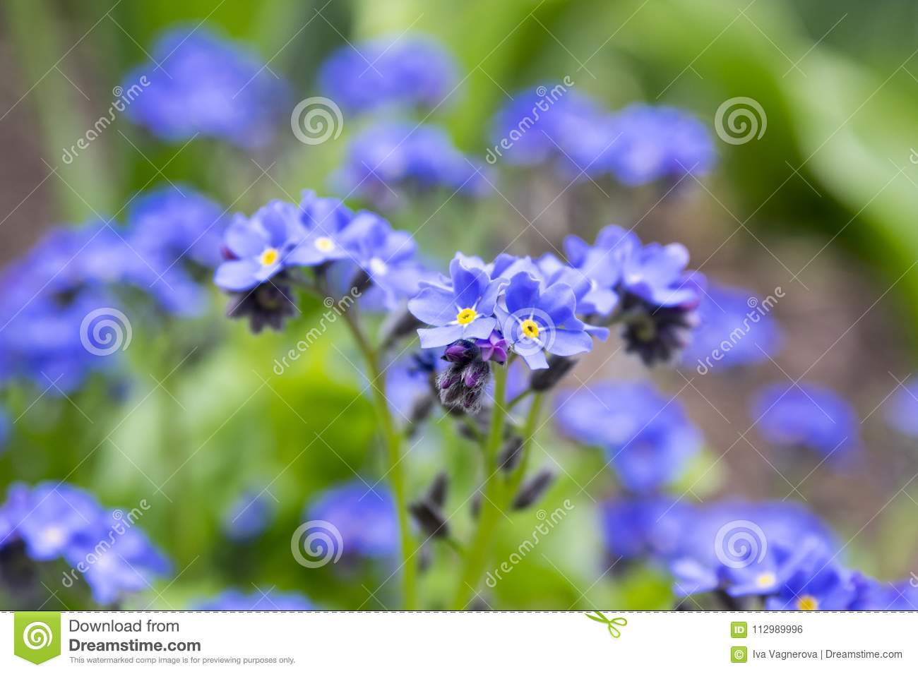 Myosotis Sylvatica Blue Flower In Bloom Stock Photo Image Of Flora
