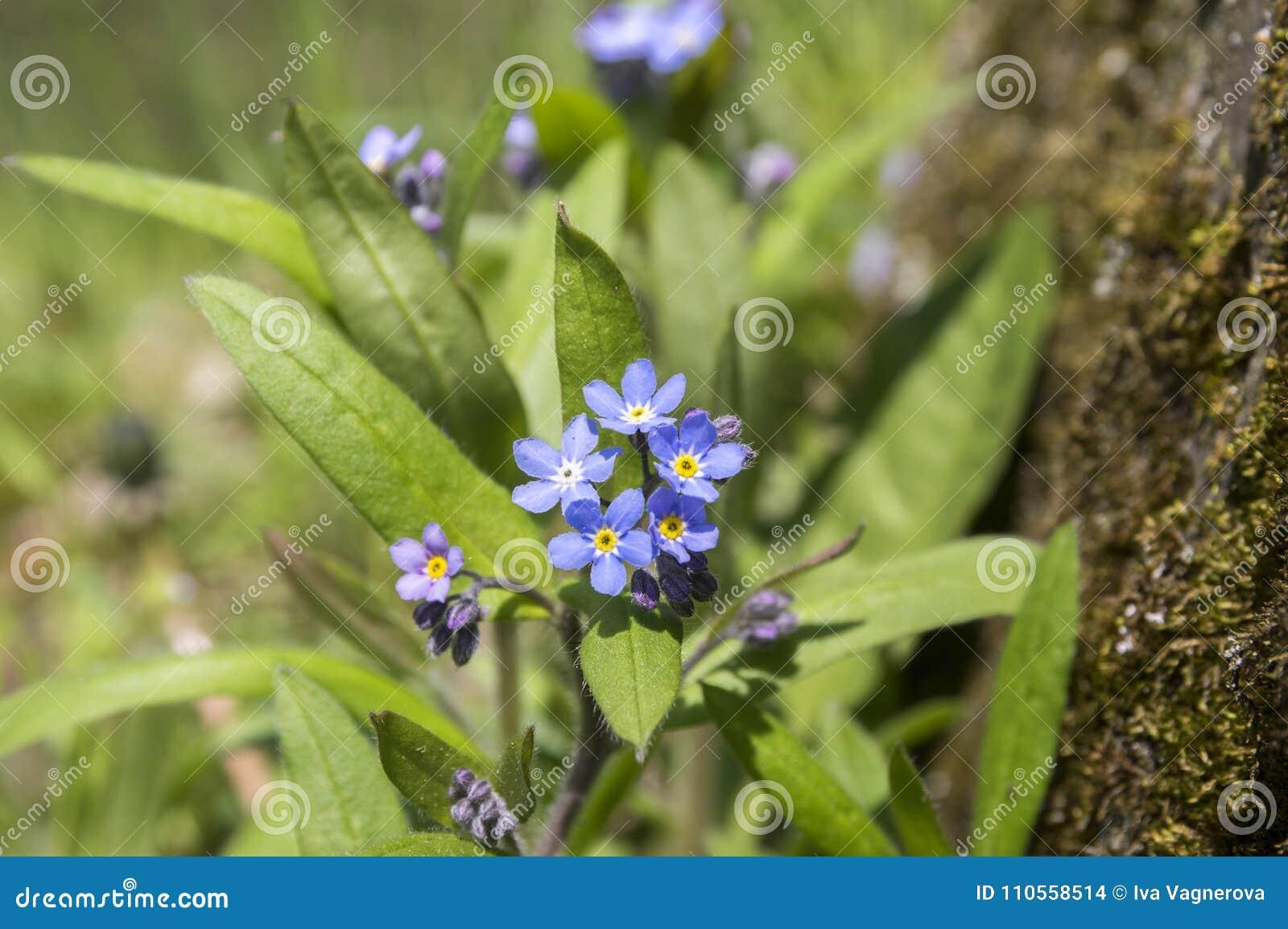 Myosotis Sylvatica In Bloom Stock Photo Image Of Herbaceous