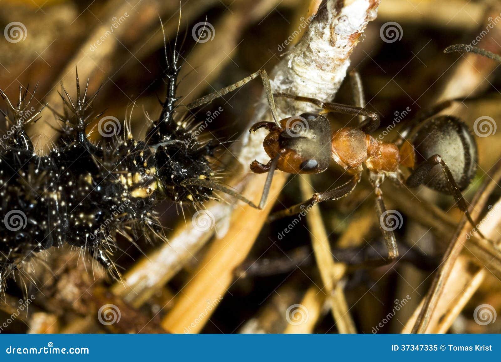 Myra och larv