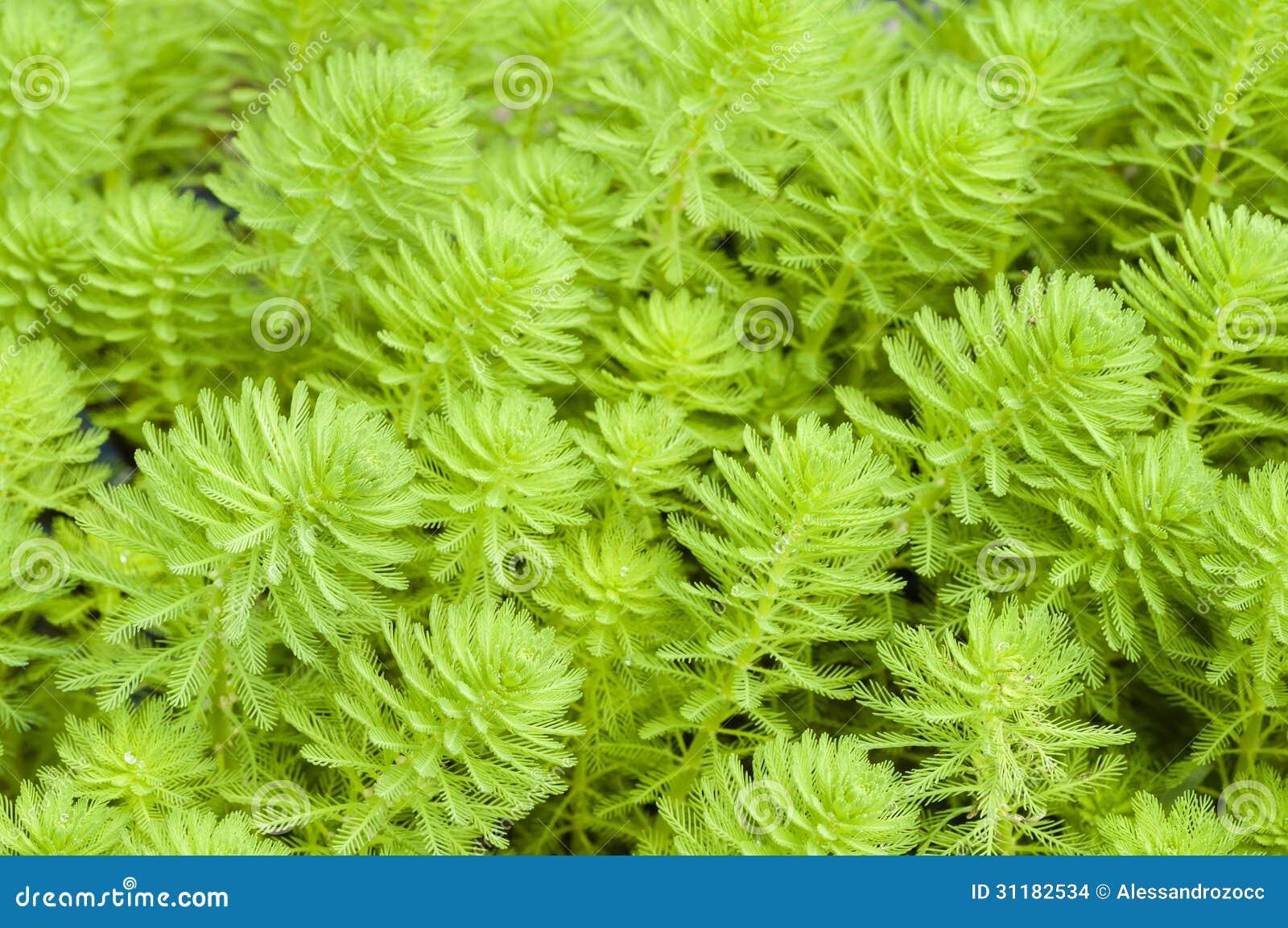myriophyllum watermilfoil stock images image 31182534