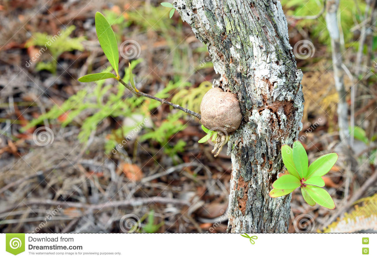 Myrmicodia On The Tree Bark Stock Image Image Of Forest Wilderness 80246839