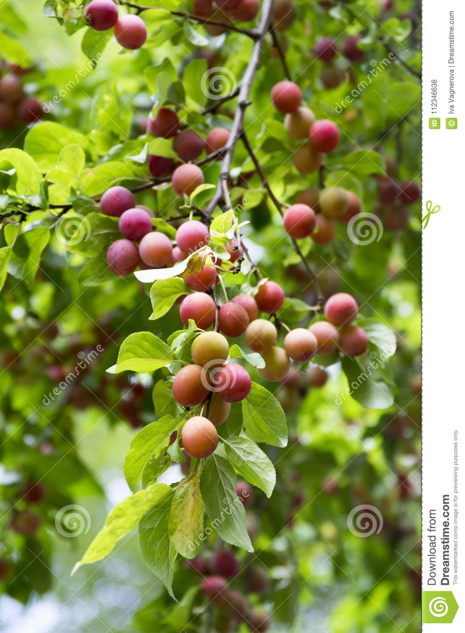 Myrobalan Plum Branches Full Of Ripening Fruit Stock Photo Image