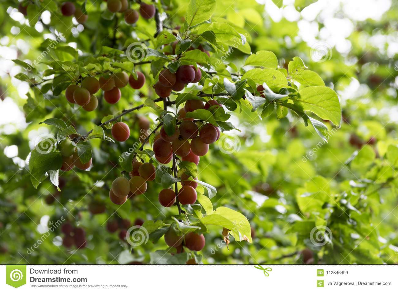 Myrobalan Plum Branches Full Of Ripening Fruit Stock Image Image