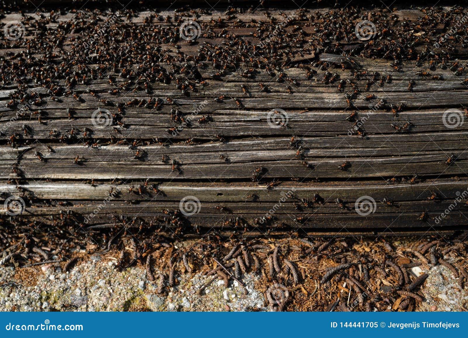Myror bygga bo i trä - brandmyror som kryper på det trägamla huset