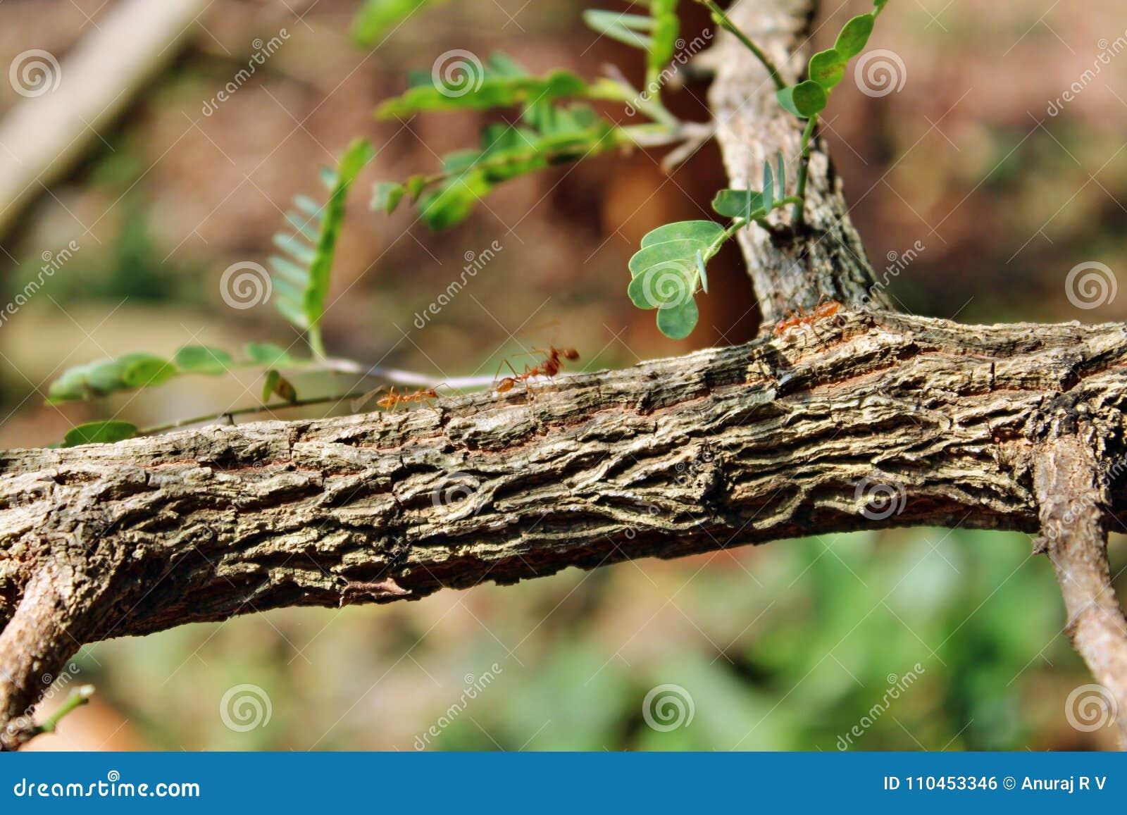 Myror på ett tamarindfruktträd