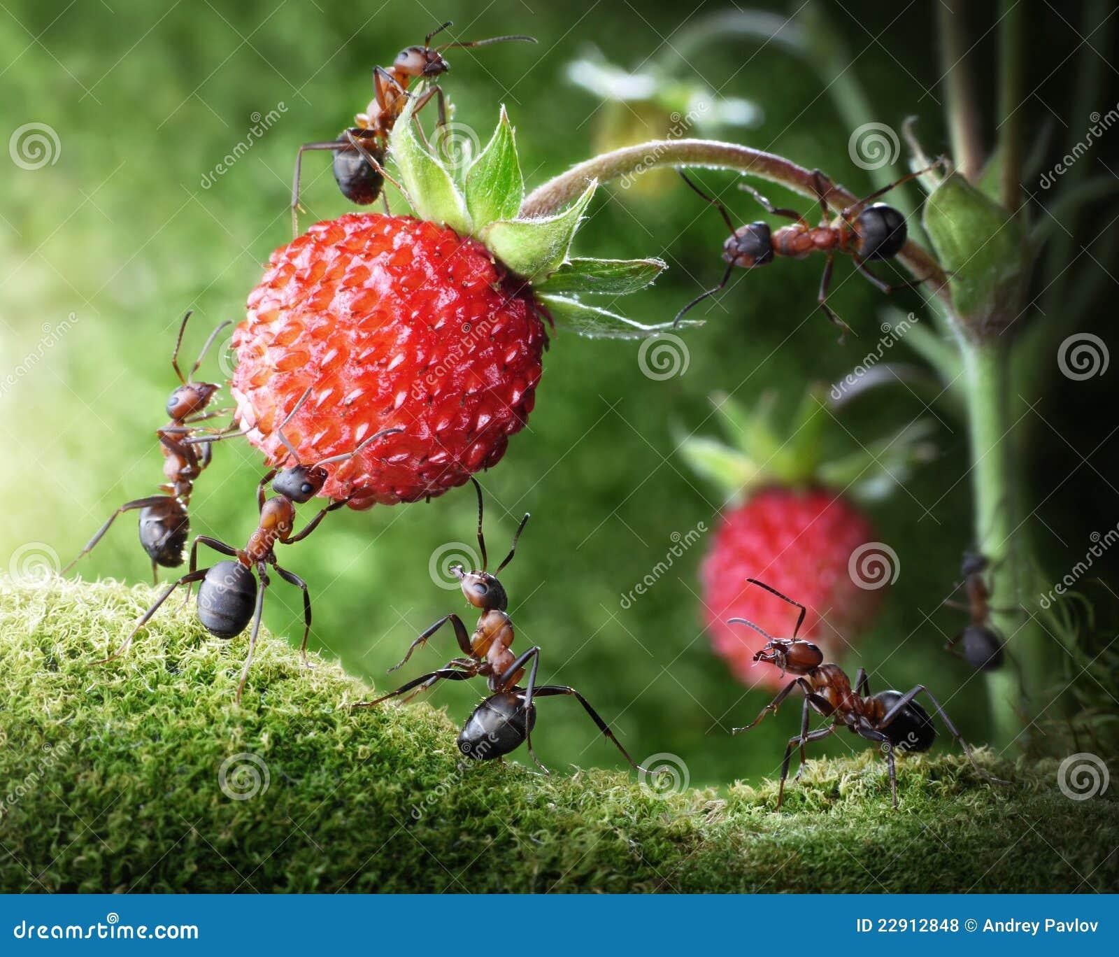 Myror som väljer wild jordgubbelagteamwork
