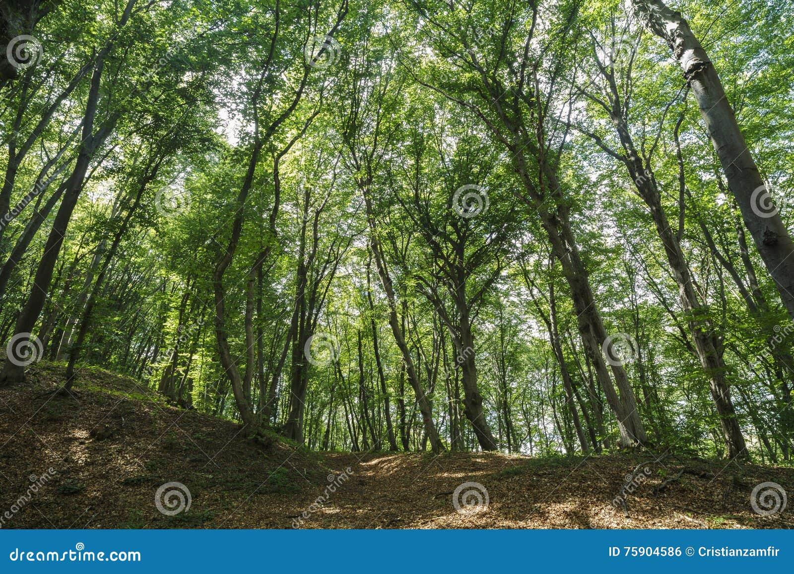 Wald Rumänien
