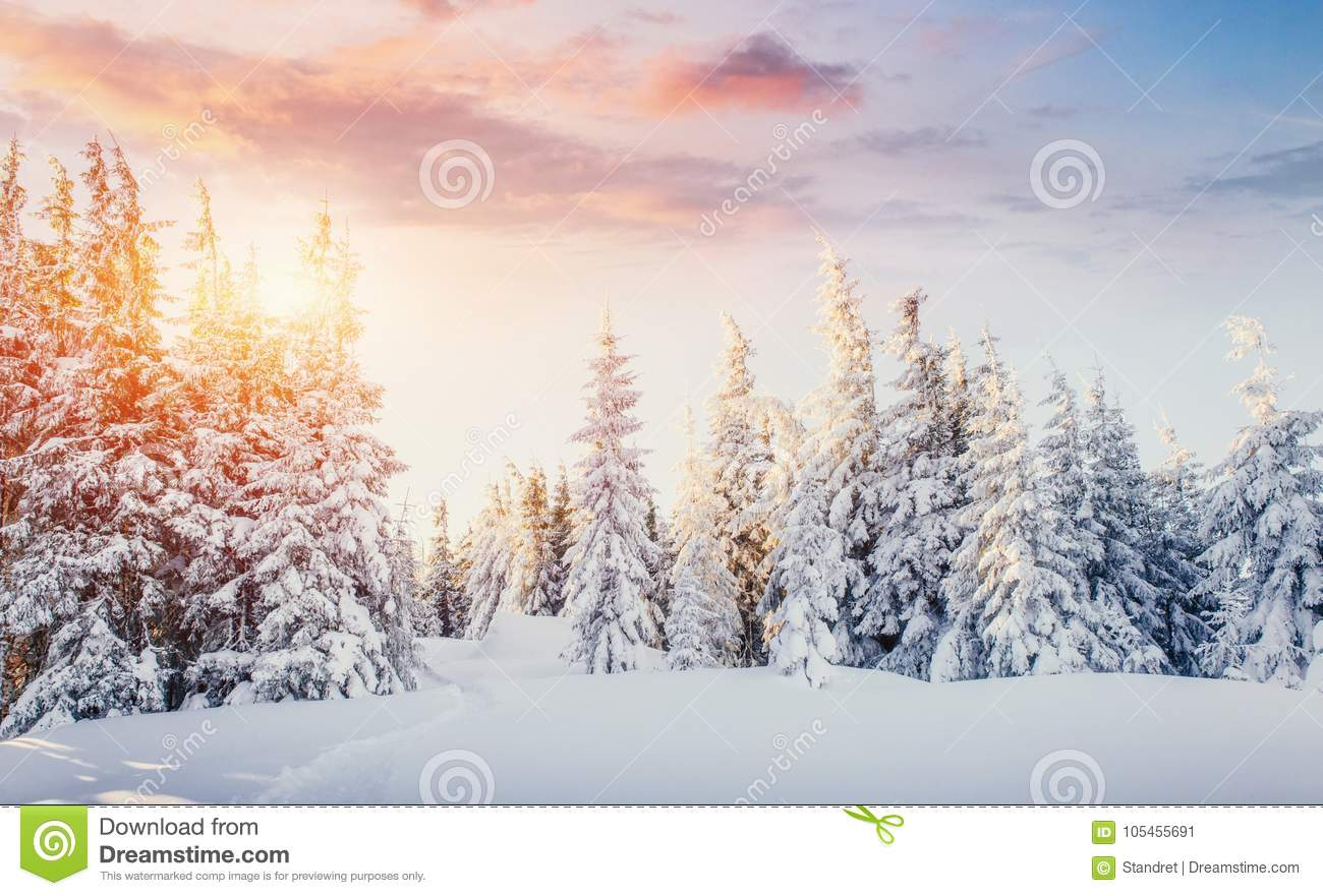 Mysterious winter landscape majestic mountains in winter. Magical winter snow covered tree. Dramatic scene. Carpathian