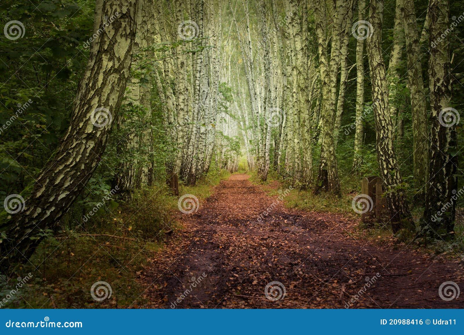 Mystische Birkengasse des Herbstes