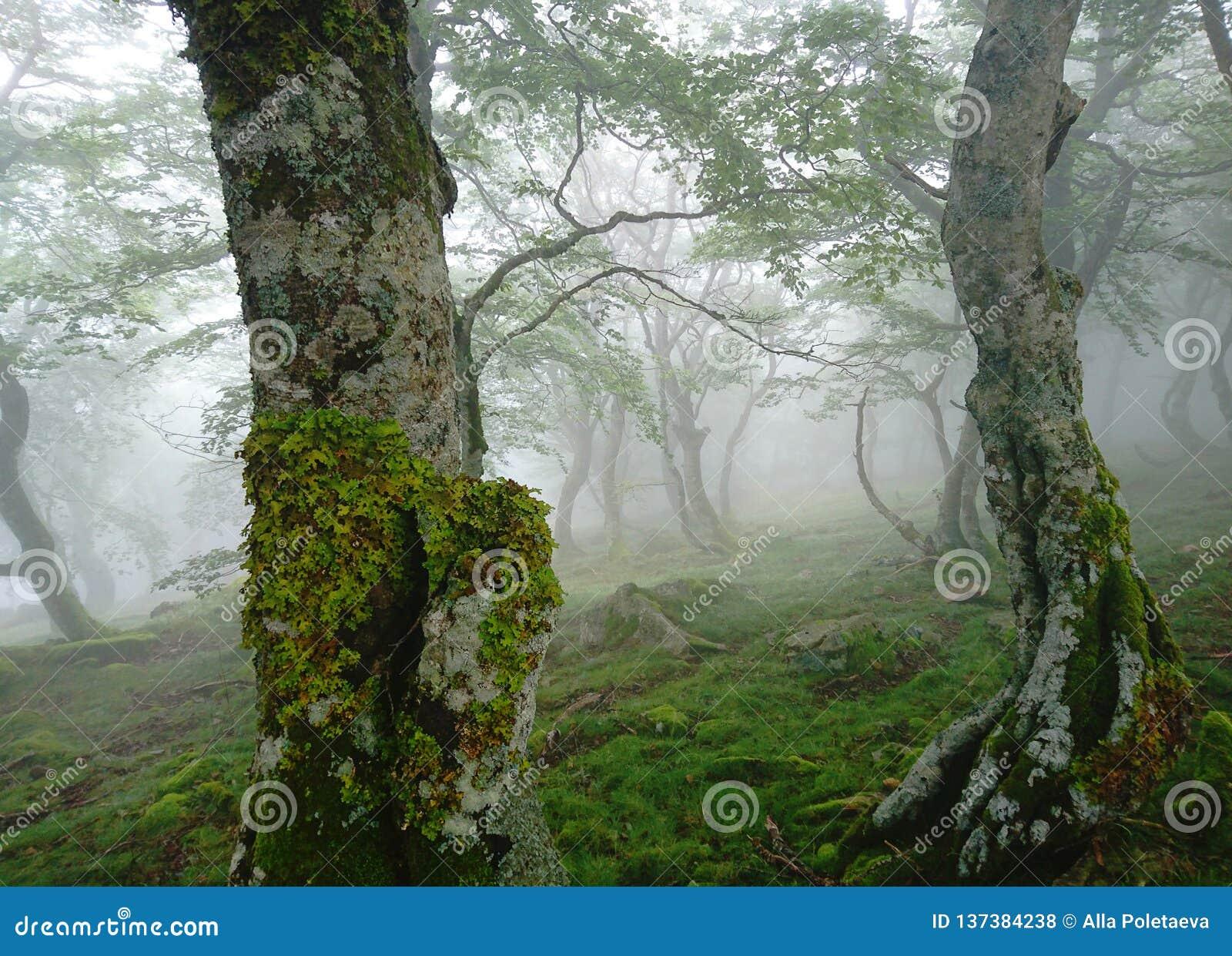 Mystischer Morgennebel im Birkenwald, grüne Blätter, tanzende Suppengrünnahaufnahme, Roncesvalles-Durchlauf, Pyrenäen