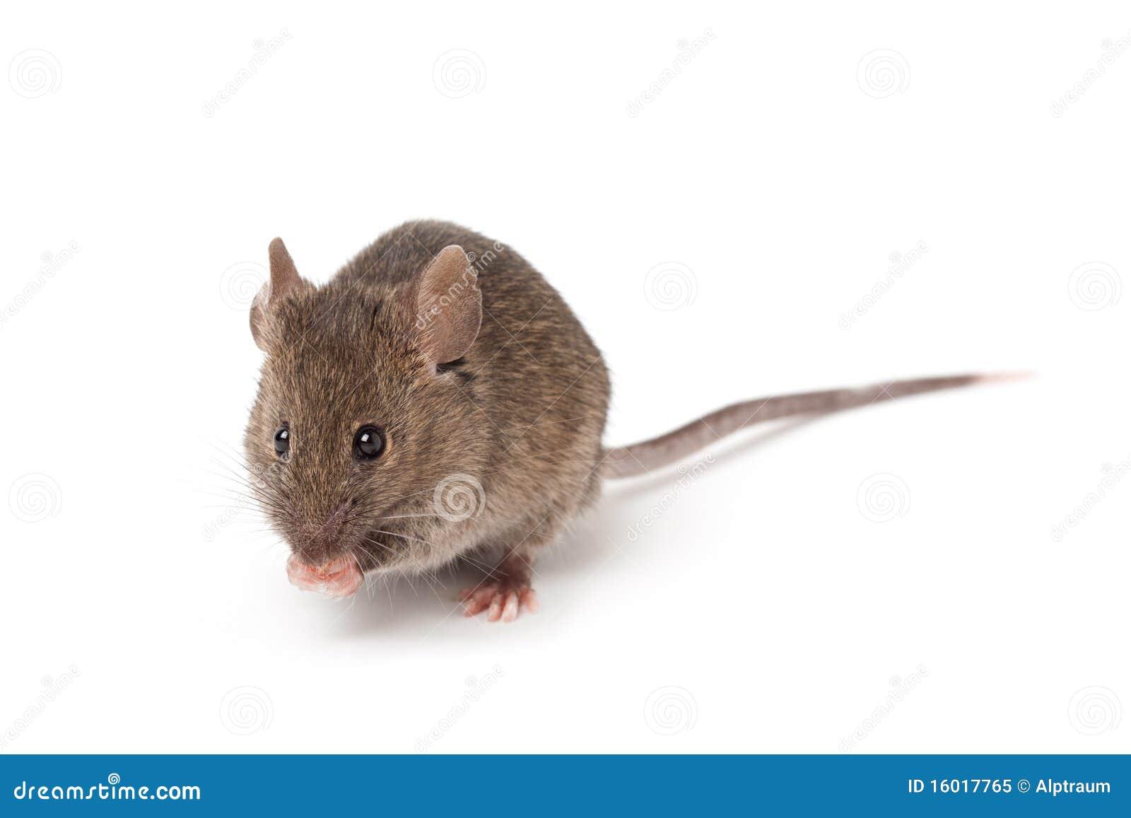 Mysz odosobniony biel