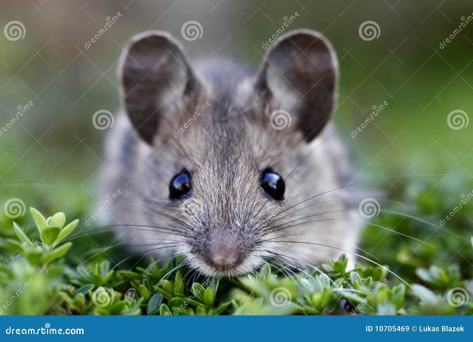 Mysz okaleczający drewno