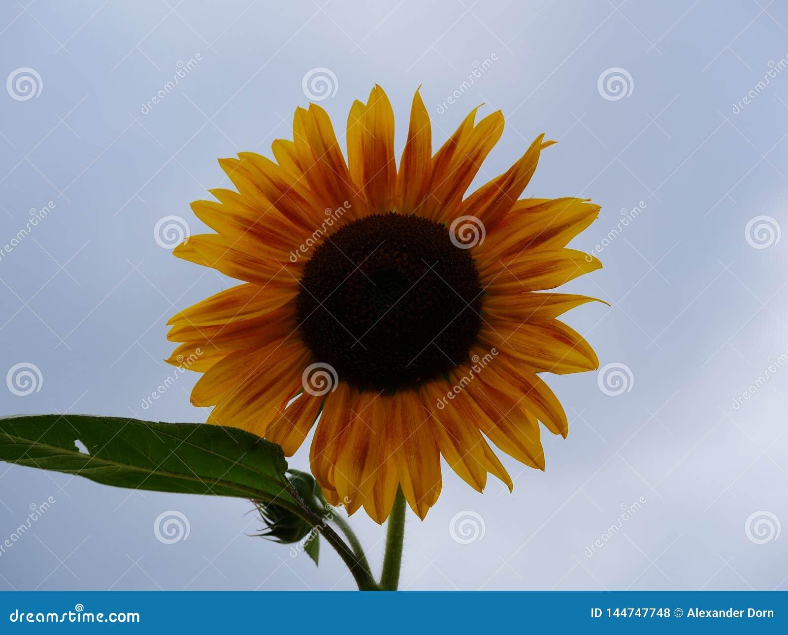 Nära övre bild av en isolerad solblomma