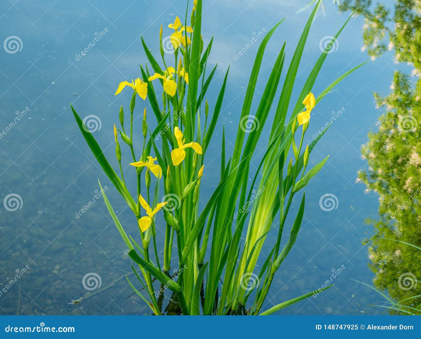 Nära övre bild av nya blommor med reflexioner i vattnet