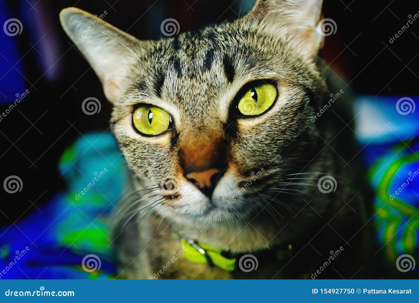 Nära övre huvud Tabby Cat