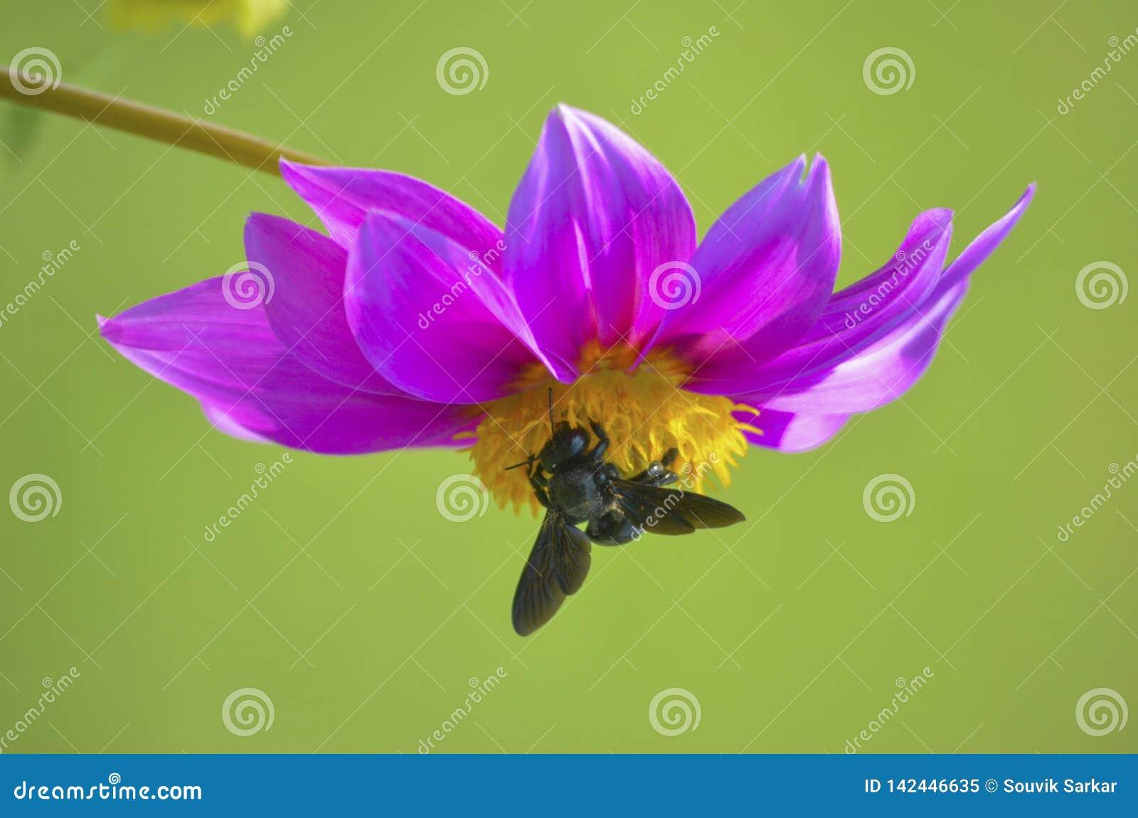 Nära övre sikt av biet på inverterad gul rabattmitt